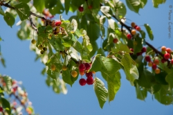 Coloratissime ciliegie